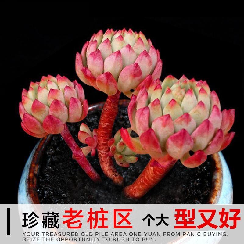 ☞❦ไม้อวบน้ำ กองเก่า ต้นไม้ใหญ่ กระถางเนื้อ พืชสีเขียว ลูกเล็ก , ไข่เต่าเขียวกุหลาบ กลุ่มซิ่วหยาน