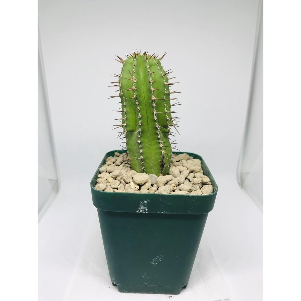 ยูฟอร์เบีย / ยูโฟเบีย (Euphorbia cereiformis)จัดส่งทั้งกระถาง #แคคตัส #ไม้อวบน้ำ #ต้นไม้ #สวน #ต้นไม้ฟอกอากาศ