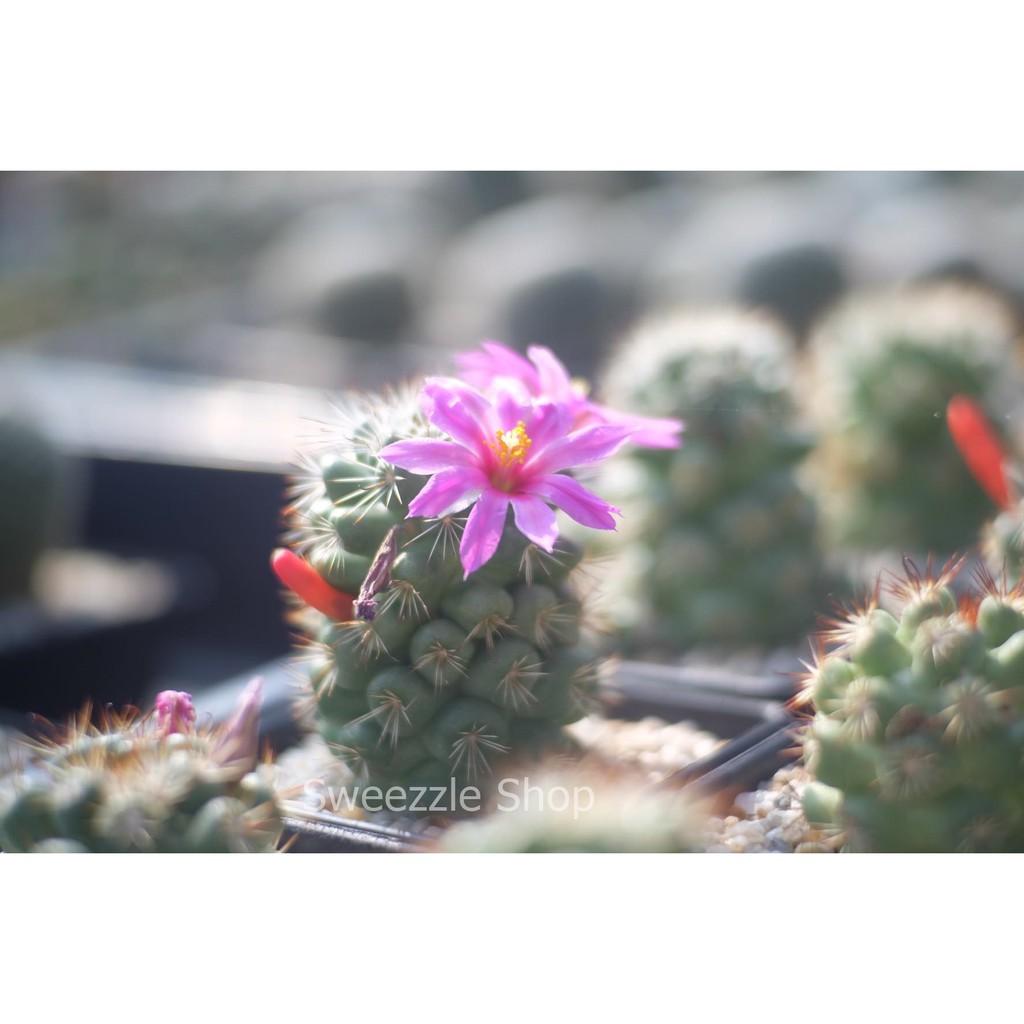 กระบองเพชร แคคตัส (Cactus) แมมชูแมน (Mammillaria Schumannii) จัดส่งทั้งกระถาง