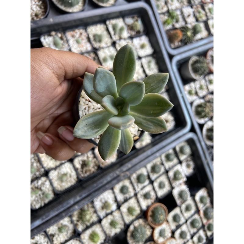 กุหลาบหินไม้อวบน้ำsucculent