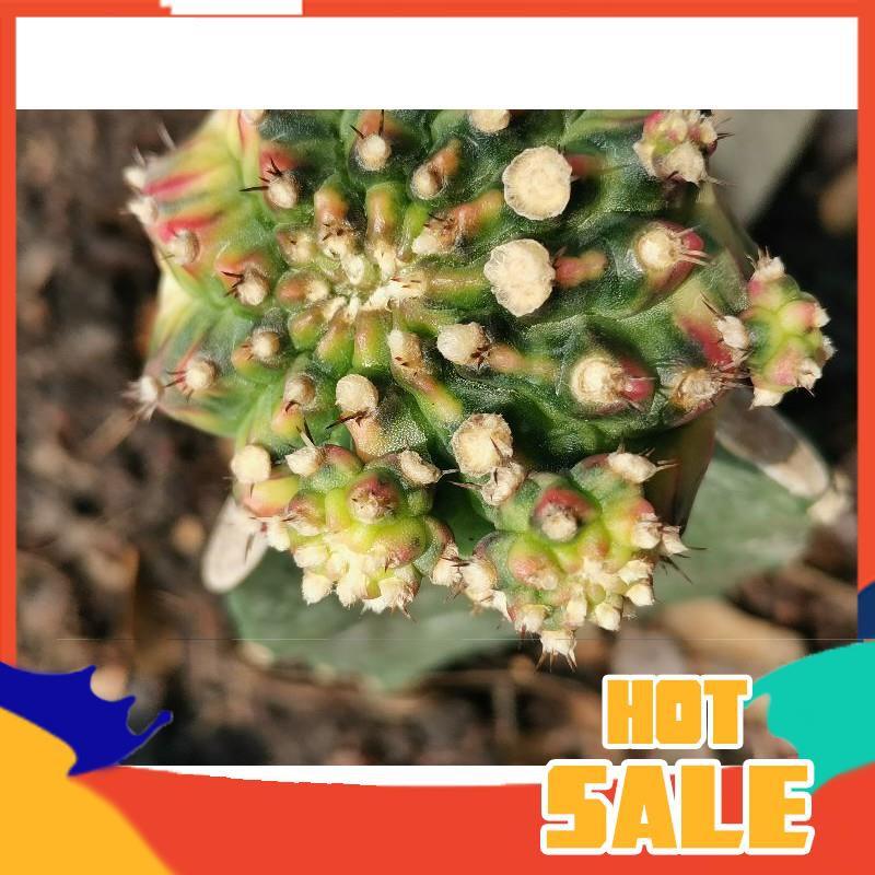 หน่อโมโมทาโร่ เด็ดสด 1 หน่อ # Cactus แคคตัส กระบองเพชร ไม้อวบน้ำ ไม้กราฟ ราคาถูก