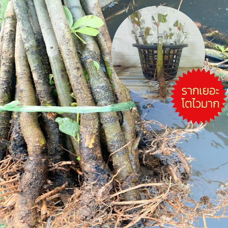 ต้นกระทุ่มนา ตอกระทุ่ม สำหรับเสียบยอดกระท่อมพันธุ์ดี หางกั้ง ก้านแดง หรืออื่นๆ