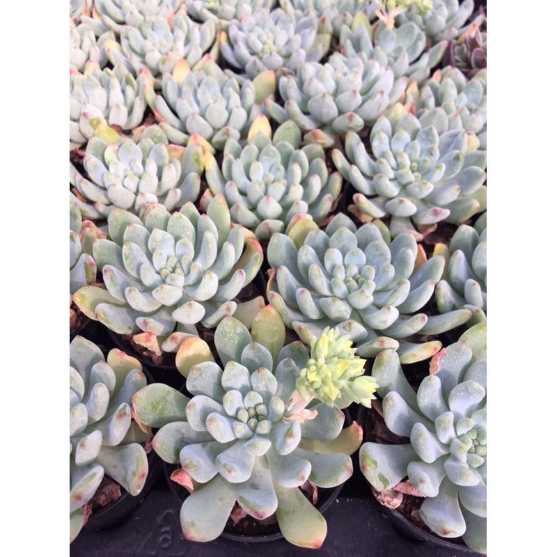 ไม้อวบน้ำ กุหลาบหิน succulent