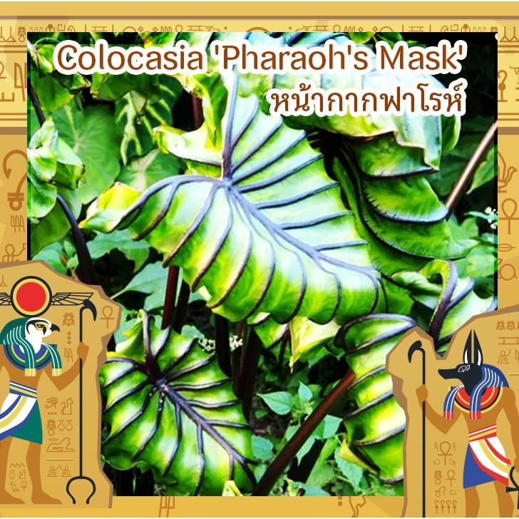 หน้ากากฟาโรห์ Colocasia Pharaoh's Mask