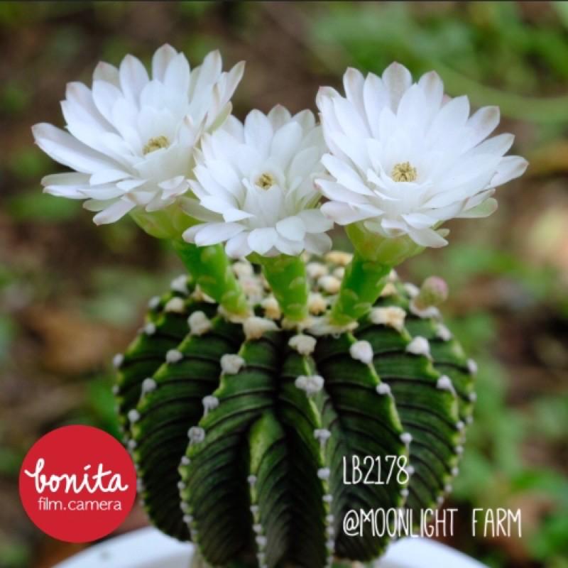 เมล็ด แคคตัส ยิมโน LB2178 Seed Cactus Gymnocalycium Gymno LB2178แท้ กระบองเพชร ตะบองเพชร เมล็ดแคคตัส