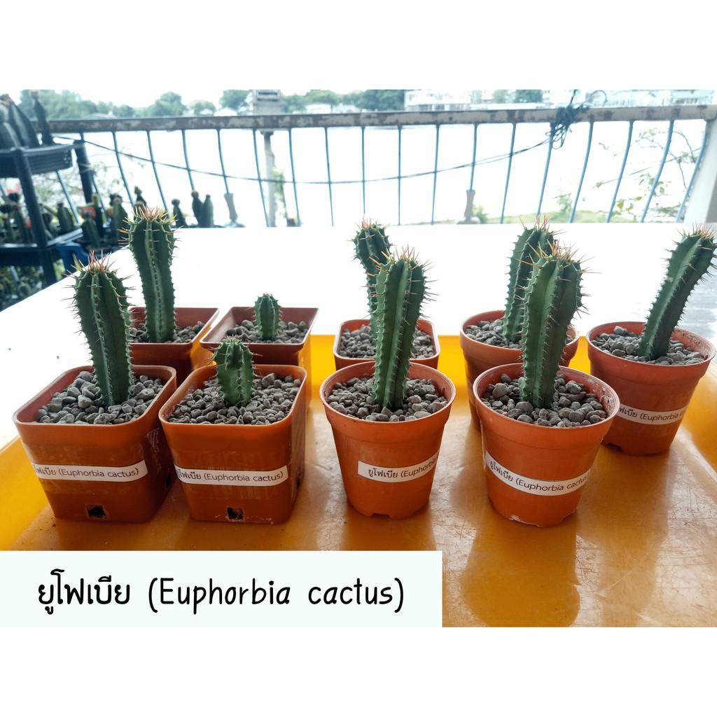 ยูโฟเบีย (Euphorbia cactus) ฟอร์มกอ 🌵ต้นขนาด 3-6 cm.