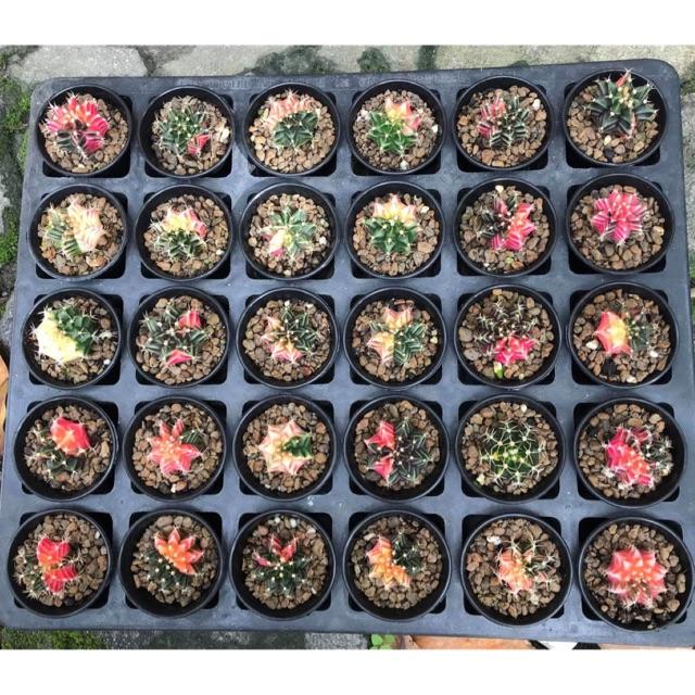 ยิมโนด่าง cactus ลายสวย กดเลื่อนเพื่อชมลาย