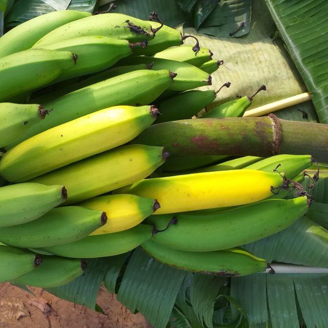 ต้นกล้วยหอมทอง ชุด 3 ต้น ราคา300 บาท
