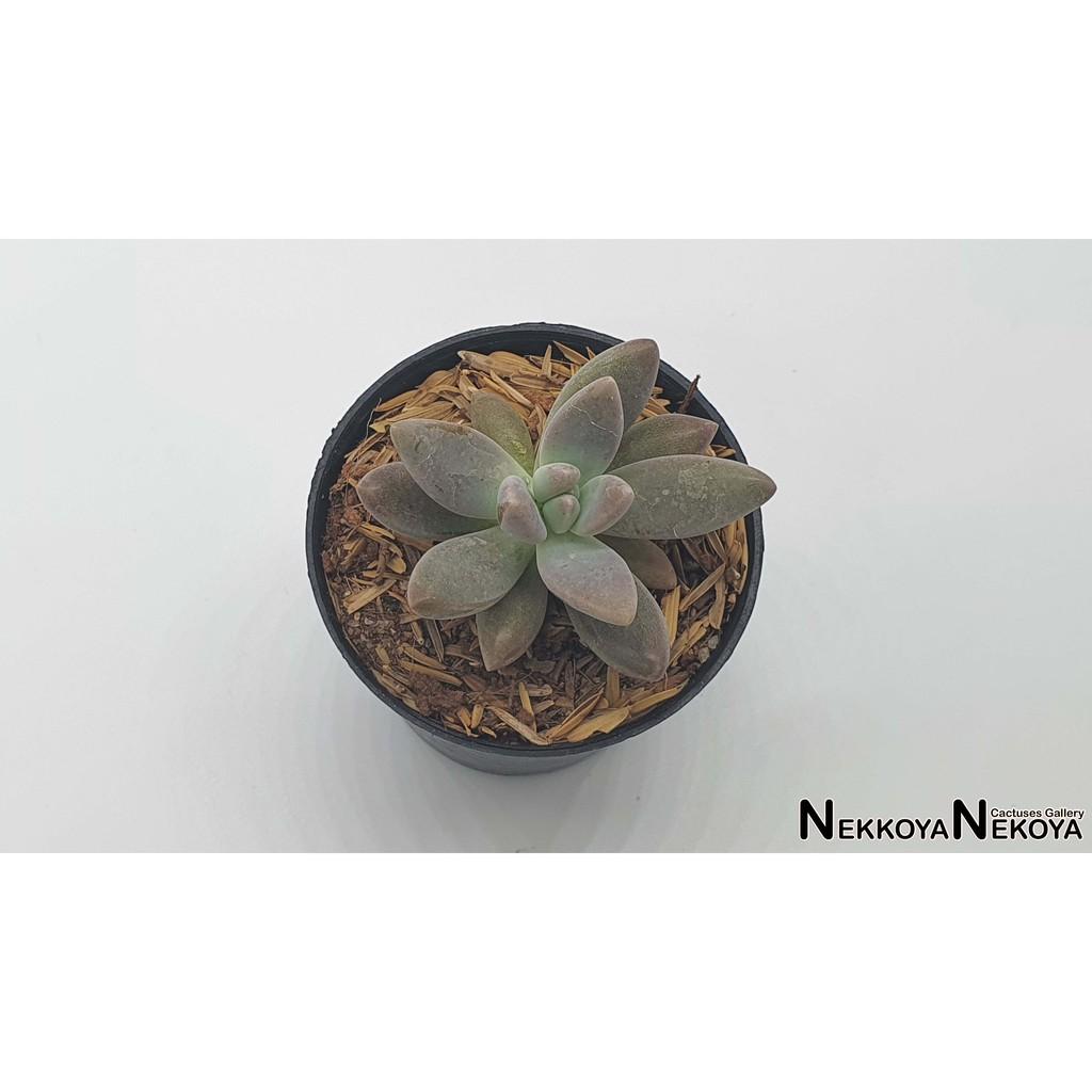 ไม้อวบน้ำ กุหลาบหิน Graptoveria Tricolor