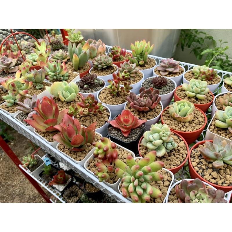 succulent ไม้อวบน้ำ แคคตัส ราคาถูก