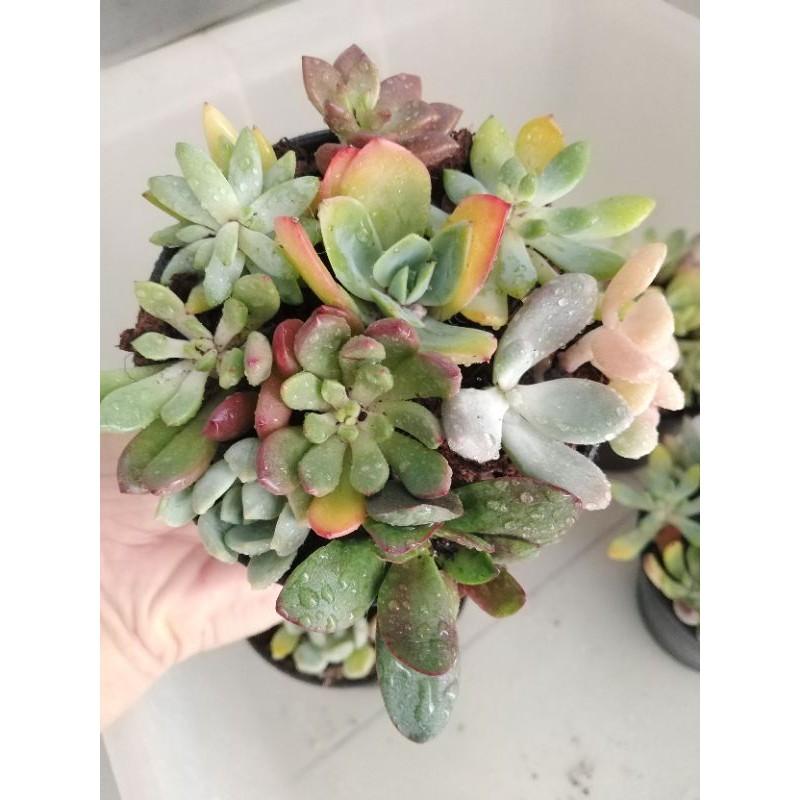 ไม้อวบน้ำ กุหลาบหิน Succulent pot mix