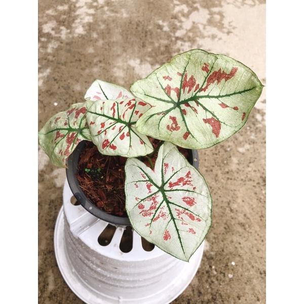 บอนสี สตรอเบอรี่สตาร์ Caladium Strawberry star 🌟Strawberry Star🌟