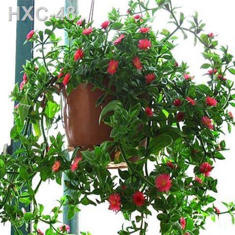 ซื้อพืชฟ้าทะลายโจร 2 กระถางเพื่อส่งรดน้ำต้นไม้ Chlorophytum peony ต้นกล้ากระถางแขวน ฟอร์มาลดีไฮด์ หญ้า