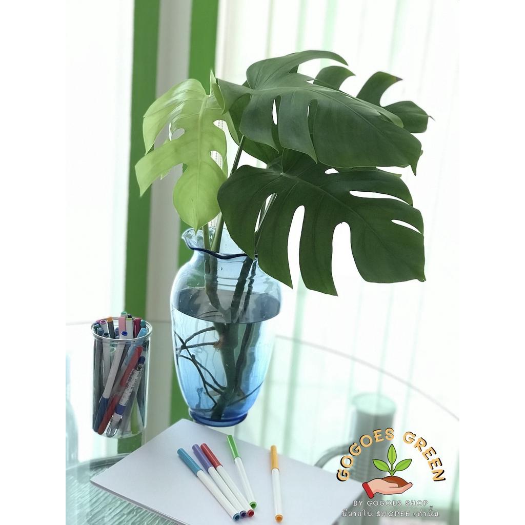 Monstera Borsigiana มอนสเตอร่า พันธุ์เลื้อย เลี้ยงง่าย ออกใบเก่ง ช่วย  ฟอกอากาศ พร้อมส่ง ส่วนลดอีกต่อไป ฿95