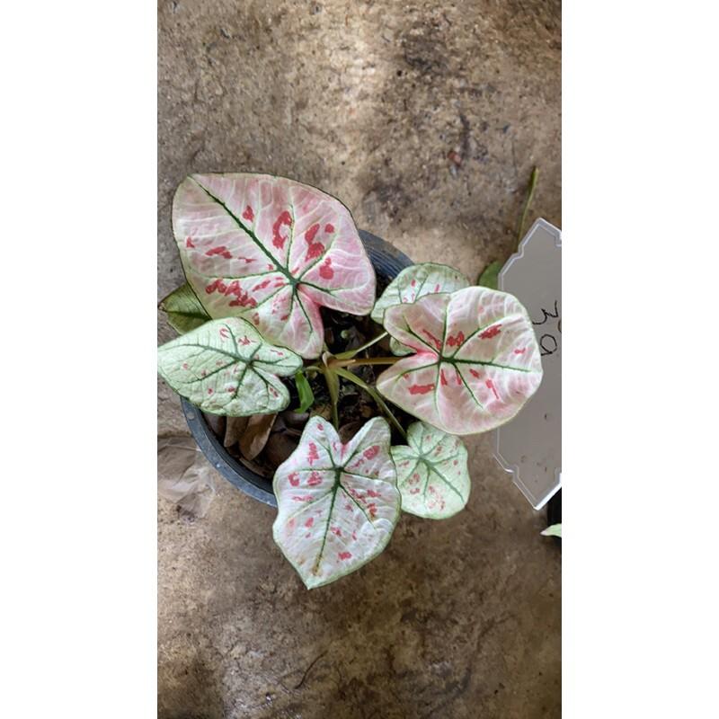 Caladium strawberry star บอนสี