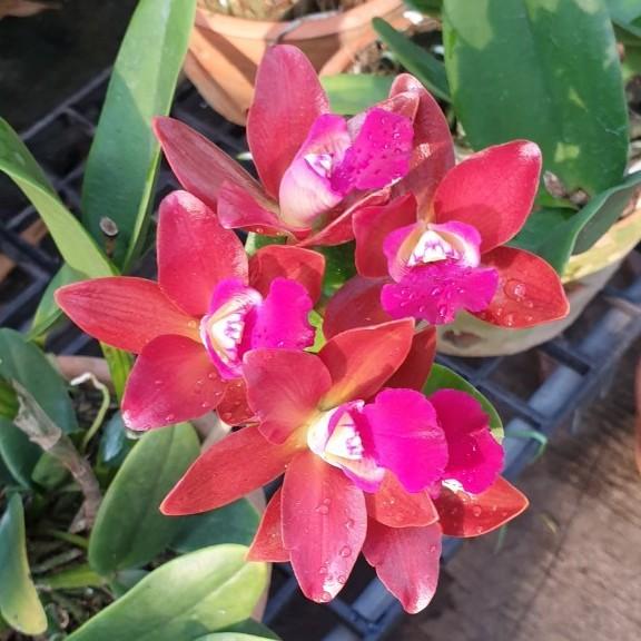 ต้นกล้วยไม้แคทลียา (Cattleya) ดอกสีแดง ในกระถางดินเผา ลำต้นสูง 30 ซม จัดส่งพร้อมกระถาง 6 นิ้ว
