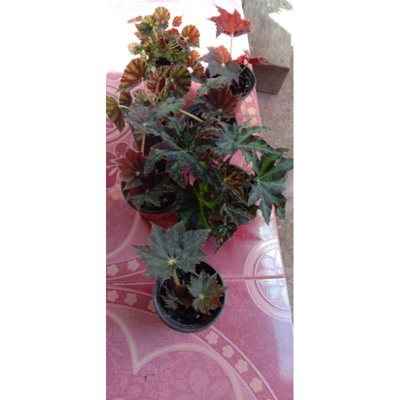brgonia/บีโกเนีย/ไม้ฟอกอากาศ/ไม้ใบไม้อวบน้ำ