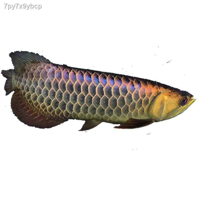 ปลาสวยงาม ปลาเขตร้อนสด ทอด Arowana คลาสสิก สีทองหลังสูง B มากกว่า