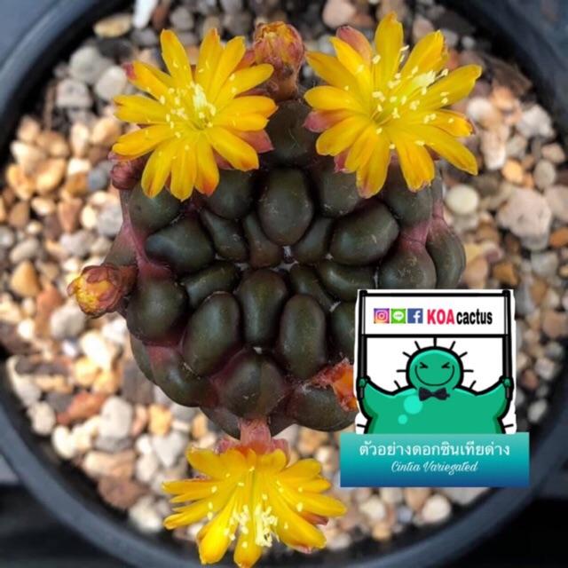 แคคตัส ซินเทียด่าง rebutia cintia variegated cactus ไม้กราฟ จำนวน 1 ต้น