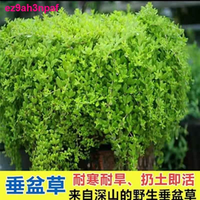 เมล็ดหญ้าร้องไห้ต้นกล้าพืชอวบน้ำ , เมล็ดพืช, เอเวอร์กรีน, สมุนไพรจีน, ไม้กระถางสีเขียว, ระเบียง, อยู่ง่าย