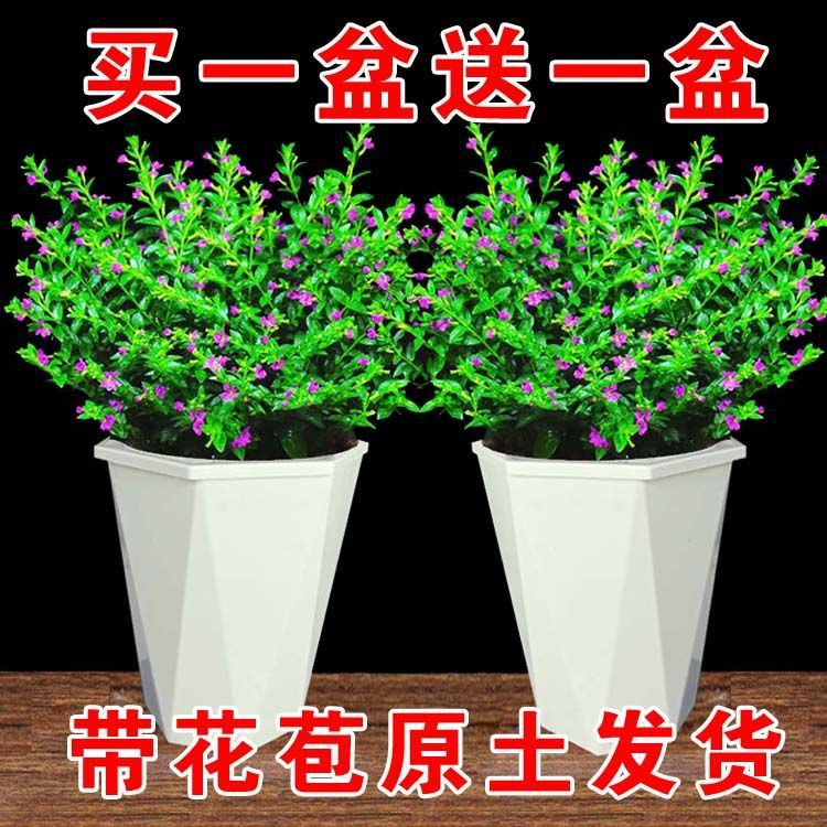 【ต้น】【ต้นไม้】【ต้นไม้และเมล็ดพันธุ์】◄☌┅[จัดส่งพร้อมดอกตูม] ฟ้าทะลายโจรกระถางดอกไม้, ต้นไม้, ดอกไม้ พืชสีเขียว ระเบียงในร่