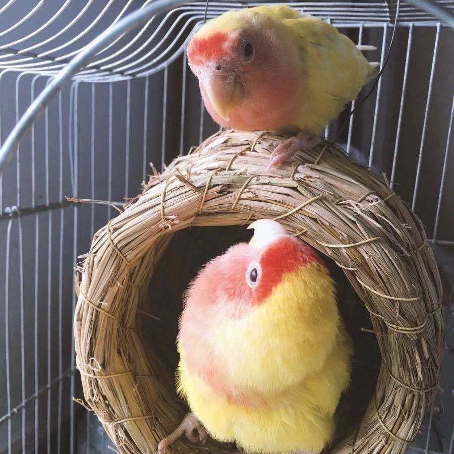 ♞☑✓รังนกฟาง โบตั๋น นกหงส์หยก คนนก ไข่มุก หญ้า รัง รังนกขนาดเล็ก กล่องเพาะพันธุ์ ให้ความอบอุ่น สำหรับฤดูหนาว อุปกรณ์กรงนก