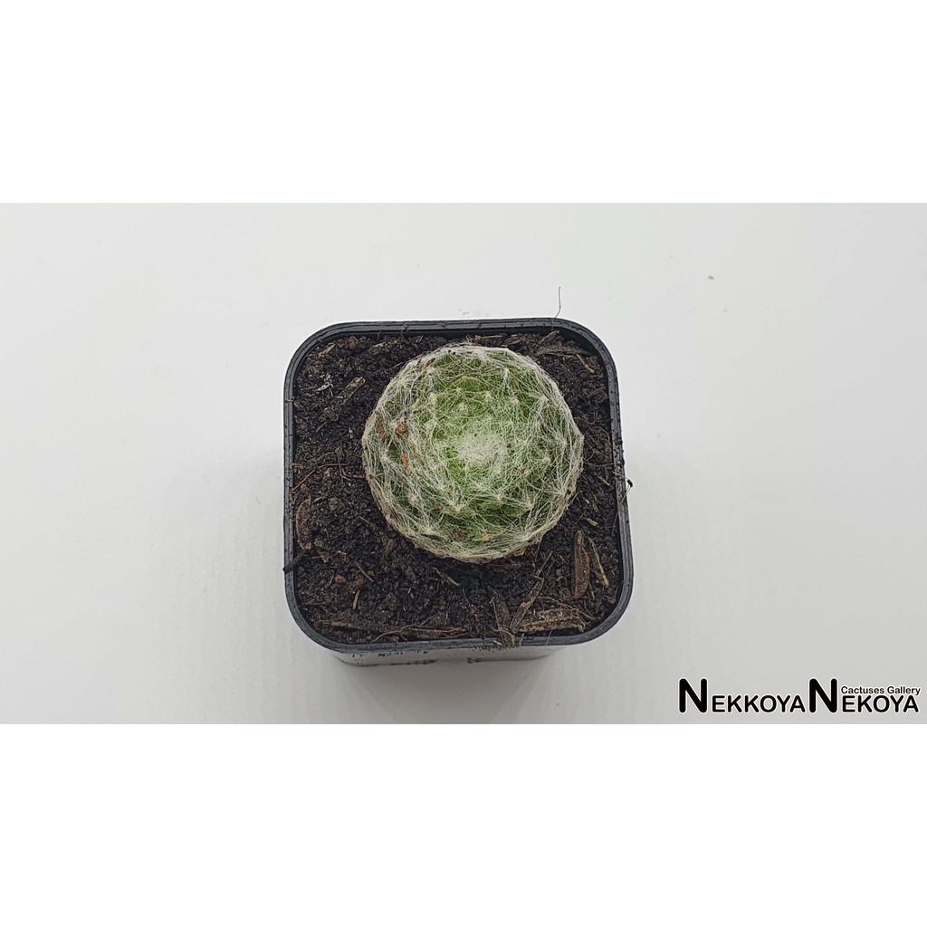 ไม้อวบน้ำ กุหลาบหิน Sempervivum arachnoid