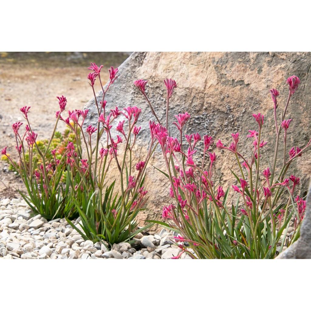 กระบองเพชร ไม้อวบน้ำ cactus succulent seeds เมล็ดพันธุ์ Anigozanthos 'Kanga Pink'