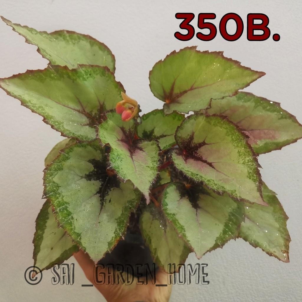 บิโกเนีย Begonia ตระกูลไม้อวบน้ำ