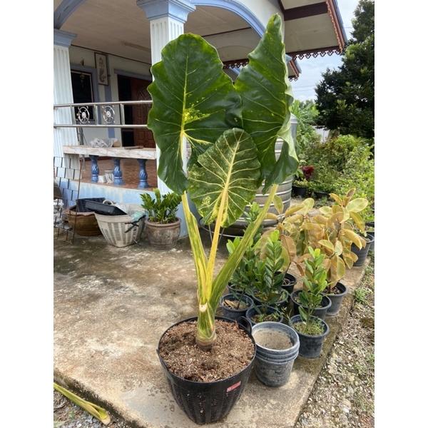 ต้นบอนเพชรเจ็ดสี Alocasia New Guinea Gold ขนาดใหญ่