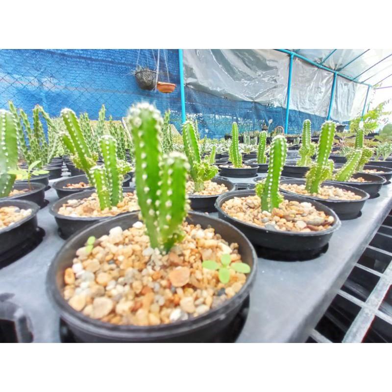 Cactus Acanthocereus tetragonus ตอสามเหลี่ยม
