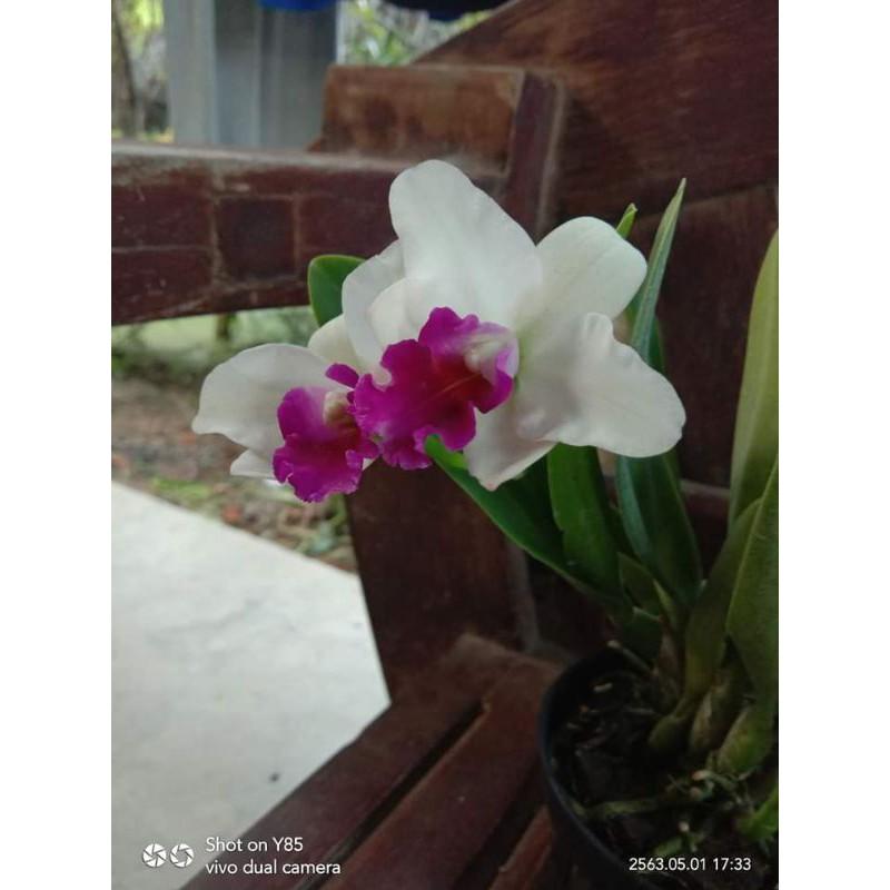 """กล้วยไม้แคทลียา แคทลียา คามาดิไอ กระถาง3""""ครึ่ง ไม่ติดดอก แต่ไม้เป็นไซต์ให้ดอกได้แล้วค่ะ"""