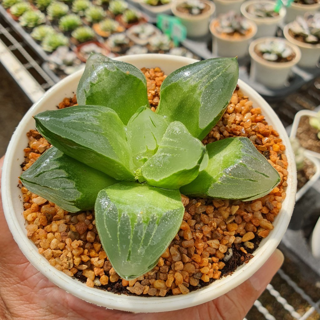 Haworthia Ice City Pygmaea Mutant G Succulents กุหลาบหินนำเข้า ไม้อวบน้ำ