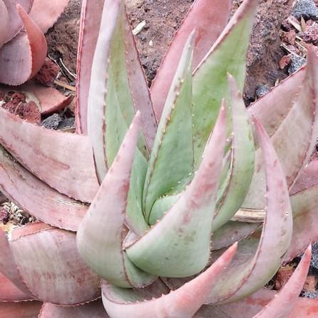 🌵เมล็ดกระบองเพชร/ไม้อวบน้ำ/ว่านหางจระเข้/Cactus & Succulent สายพันธุ์ Aloe Chabaudii (10 เมล็ด)