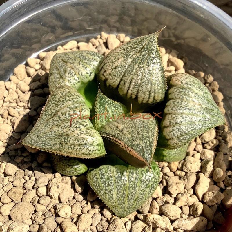[6-7 cm] ฮาโวเทีย H. picta hybrid #haworthia #sacculants #ไม้ประดับ #ไม้อวบน้ำ