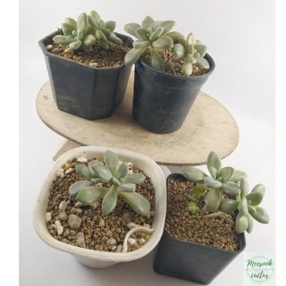 ไม้อวบน้ำขนาดเล็ก มีสองต้นในหนึ่งกระถาง cactus&succulent มีดินญี่ปุ่นโรยหน้า