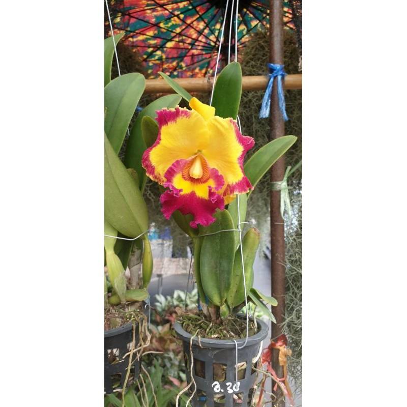 """ต้นกล้วยไม้ แคทลียา (Cattleya)"""" ราชินีแห่งกล้วยไม้ ไม้พร้อมให้ดอก  จัดส่งพร้อมกระถาง 4 นิ้ว ลำต้นสูง 30-45ซม"""