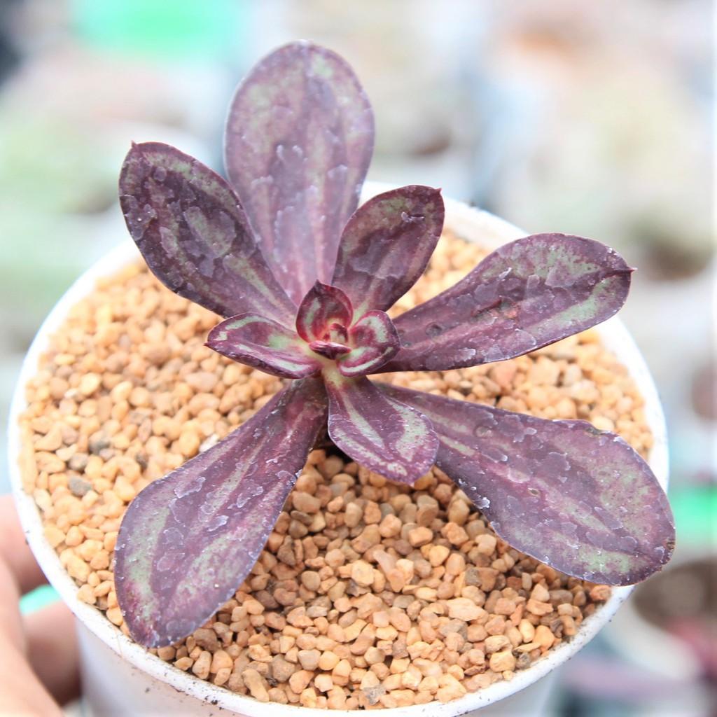Echeveria Nodulosa Maruba Benitsukasa กุหลาบหินนำเข้า ไม้อวบน้ำ Imported Live Succulents plant