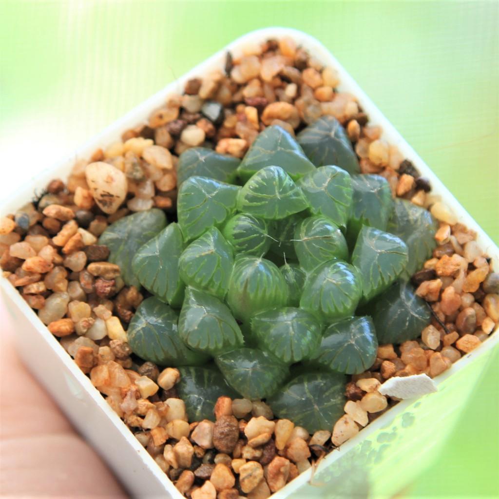 สินค้าใหม่ พึ่งนำเข้า Haworthia Cooperi var. Trancata  Succulents 2U กุหลาบหินนำเข้า ไม้อวบน้ำ