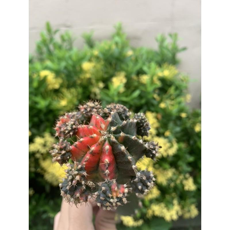 [ถูกสุด] Cactus ยิมโนด่างมีหน่อกราฟ
