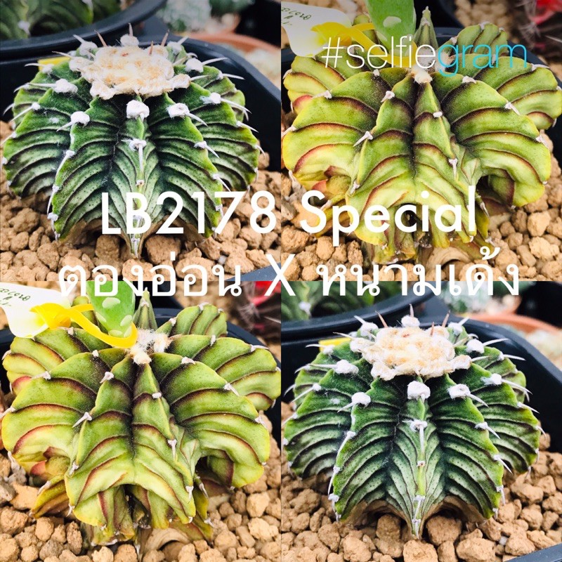 *NEW* เมล็ด LB2178แท้ ตองอ่อน x หนามเด้ง ชุด35เมล็ด+ (cactus/แคคตัส/กระบองเพชร/ตะบองเพชร/เมล็ดพันธุ์/ต้นไม้)