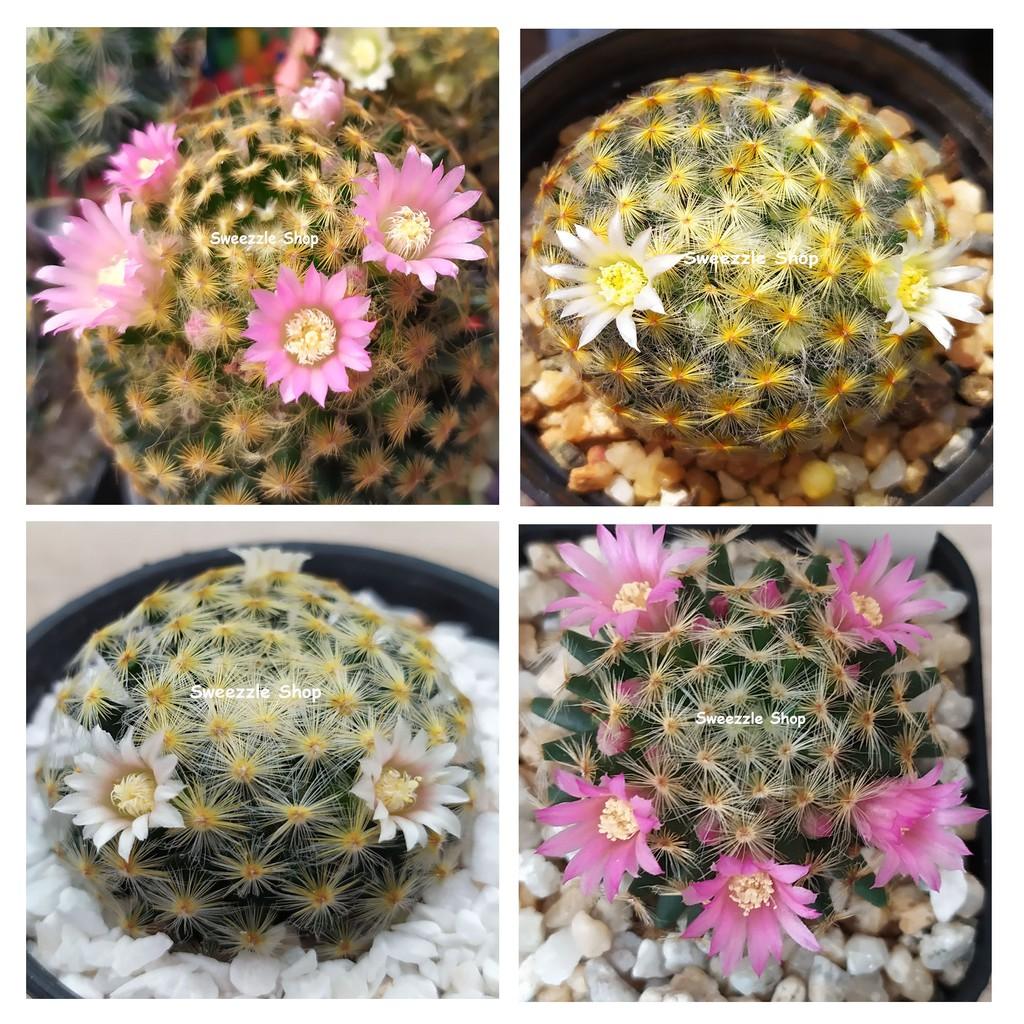 กระบองเพชร แคคตัส (Cactus) แมมขนนกเหลือง (Mammillaria schiedeana) ลุ้นสีดอก จัดส่งทั้งกระถาง