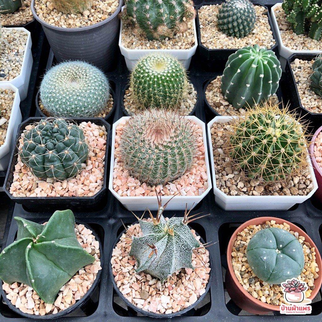 รวมกระบองเพชรหลายสายพันธ์ #2 แคคตัส กระบองเพชร cactus&succulent