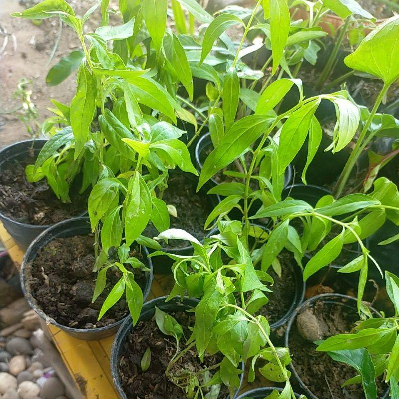 พืชสมุนไพรต้นฟ้าทะลายโจรขายพร้อมกระถาง4นิ้ว