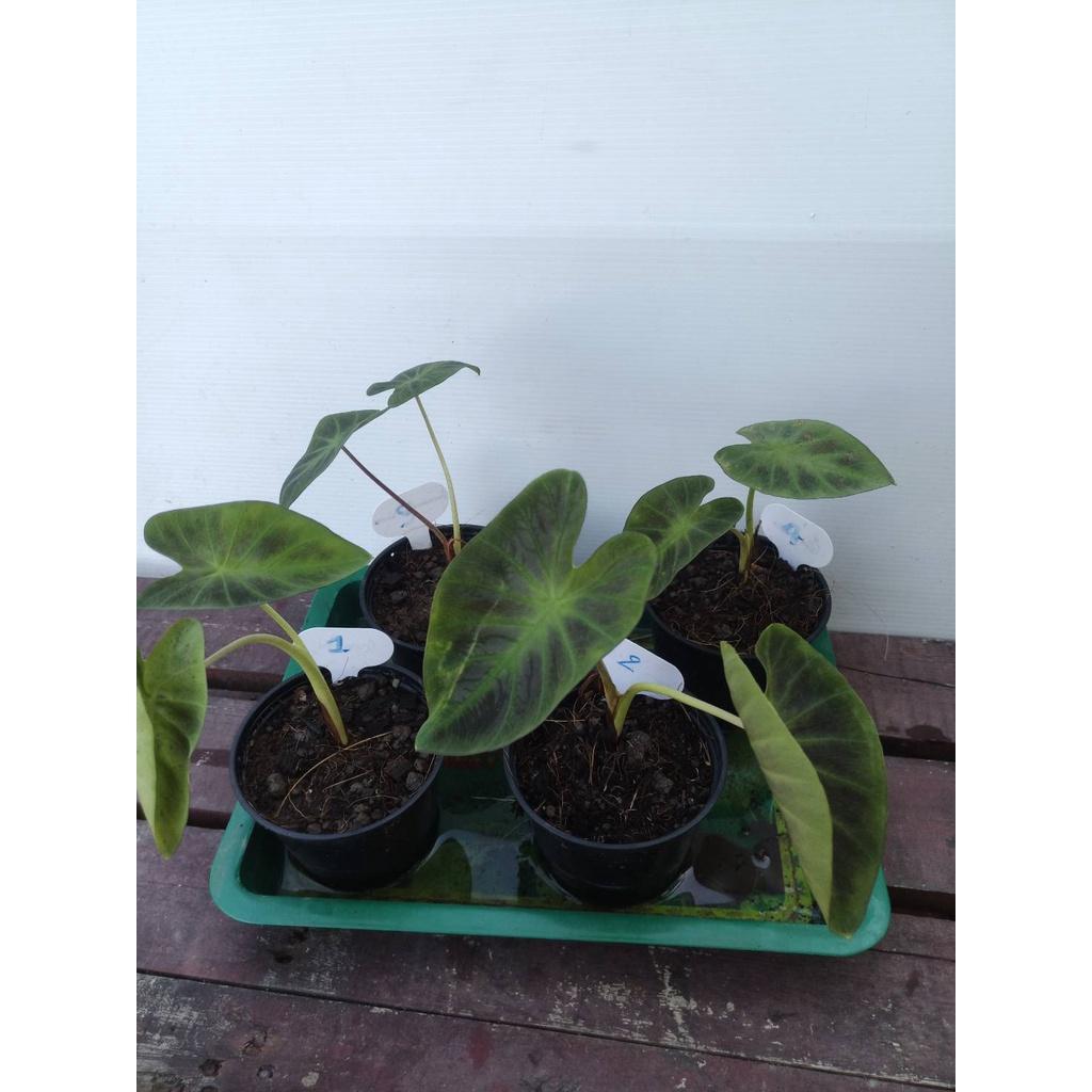 บอนดำอโลฮ่า Colocasia esculenta Aloha