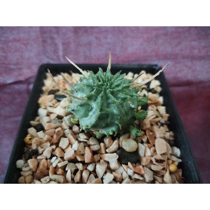 กระบองเพชร,ไม้อวบน้ำ, Cactus,ส่งพร้อมกระถาง