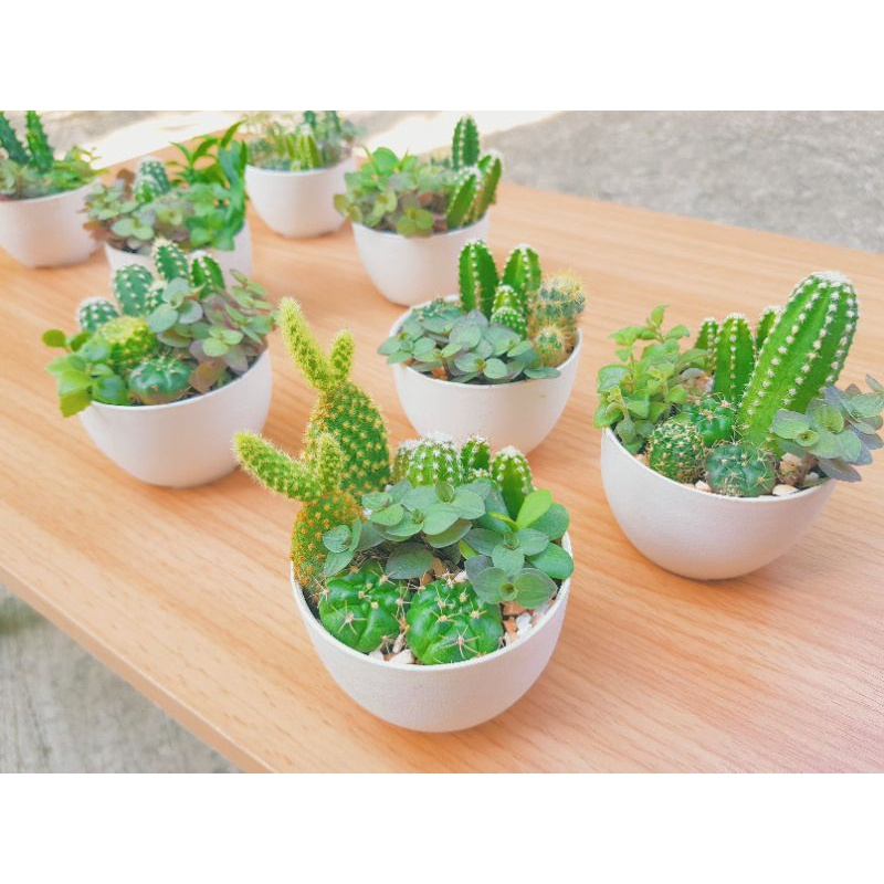 มินิแคคตัส สวนถาดจิ๋ว แคคตัส ไม้อวบน้ำ cactus & succulent ไม้ฟอกอากาศ