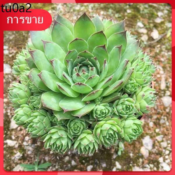 Succulents กุหลาบหิน เมล็ด ★ดอกบัวเจ้าแม่กวนอิมในร่มหอพักขนาดใหญ่เหมาะสำหรับปลูกไม้กระถาง, กองโตอวบน้ำเก่าที่แตกง่าย, บอ