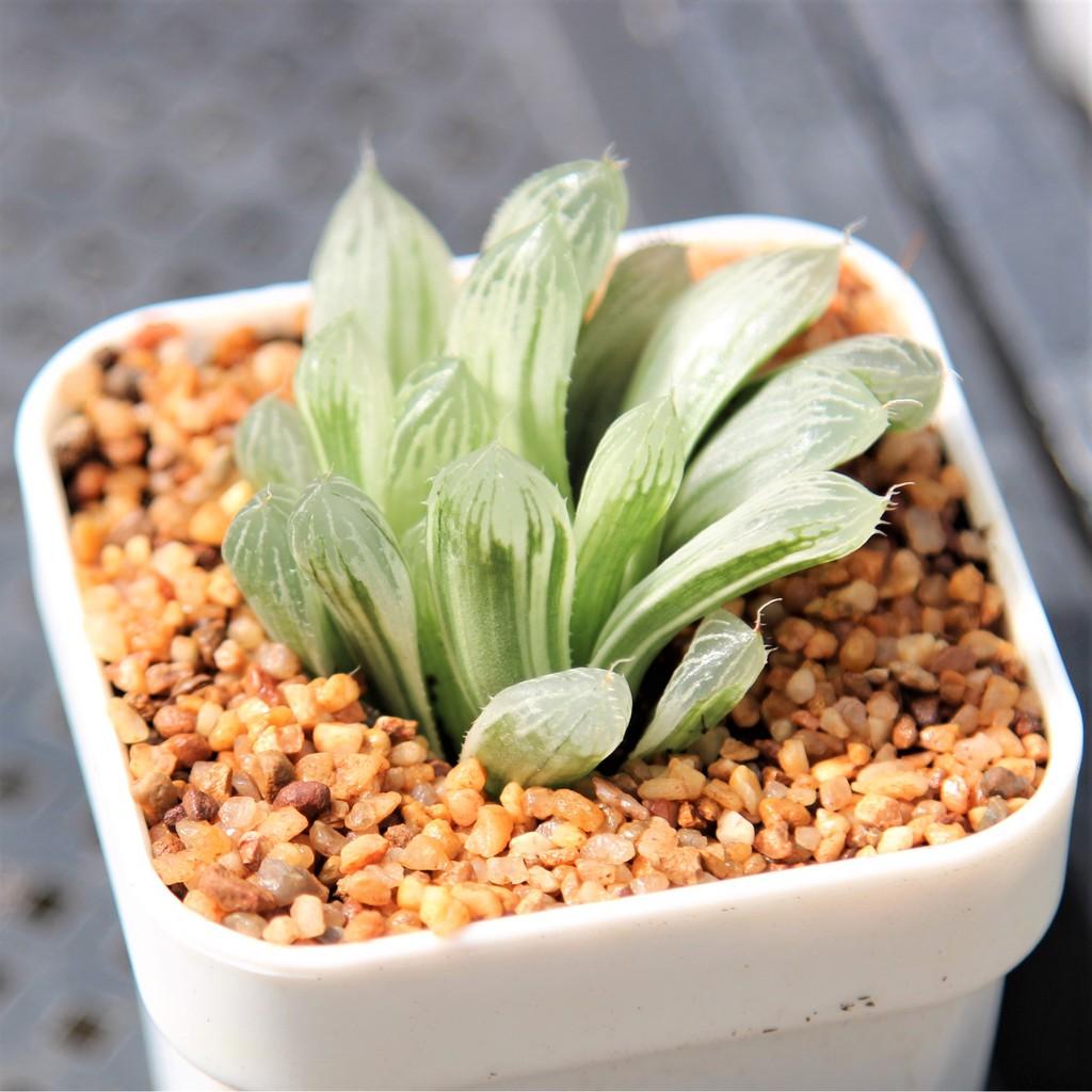 สินค้าใหม่ พึ่งนำเข้า Haworthia Silver Swirl 3 inch  succulents 2U กุหลาบหินนำเข้า ไม้อวบน้ำ