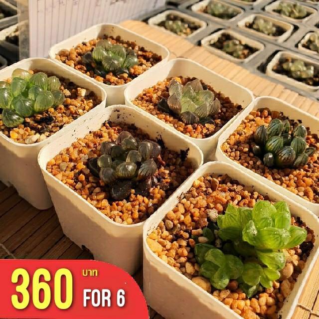 Haworthia Mini Set in 6 เซตฮาโวเทีย กระถาง 2 นิ้ว กุหลาบหินนำเข้า ไม้อวบน้ำ